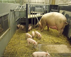 Indoor free-farrowing systems for sows - practical options